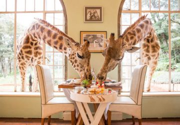 Mit echten Giraffen frühstücken