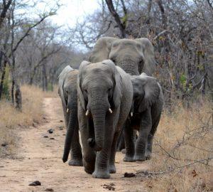 Elefanten in der Wildnis
